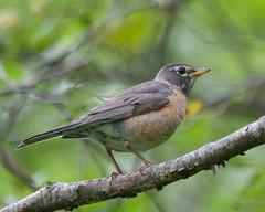 Fledgling Robin Photo