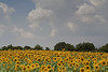 Sunflowers (elkost) Tags: flowers trees flower yellow clouds sunflowers i500 interstingness395
