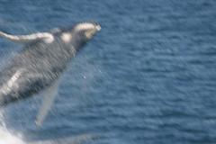 Siphon's calf breaching! (Bar Harbor Whale Watch/Allied Whale) Tags: calf humpbackwhale breach