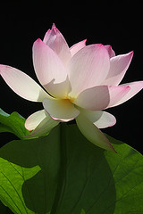 Lotus Flower - IMG_5999-1 (Bahman Farzad) Tags: flower macro yoga peace lotus relaxing peaceful meditation therapy lotusflower lotusflowers lotuspetal lotuspetals lotusflowerpetals lotusflowerpetal