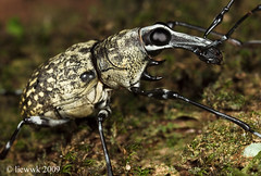 2.32 Fungus Weevil (liewwk - www.liewwkphoto.com) Tags: park wild brown plant macro green eye nature animal closeup fauna bug garden insect leaf flora outdoor wildlife leg beetle foliage fungus wilderness antenna snout weevil curculionidae whitish herbivorous curculionoidea anthribidae snoutbeetles
