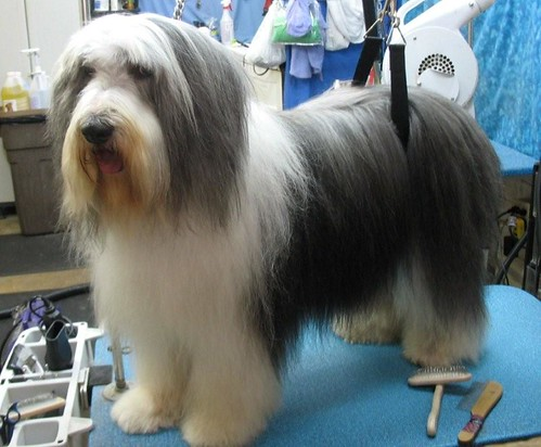 Bearded collie shaved