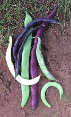 These differently colored snap beans can all be eaten in the same green bean recipes.