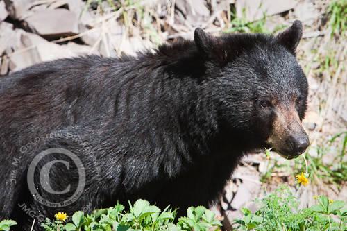 American Black Bear (Ursus americanus) Eating Dandelions