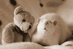 You've got a friend in me (Honey Pie!) Tags: cute sepia toy nose rat brinquedo linus moustache explore bigode teddybear dominique lovely fofo toyland spia focinho fancyrat ratazana explored melinadesouza