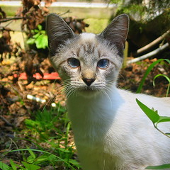 another blue eyed beauty (livingglassart home of oddballs and oddities) Tags: cat abandonedcat blueeyedlove