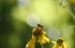 Bokeh Fa Shokeh (Nola Nate) Tags: flower green nature yellow bug insect outdoors bee bloom arkansas wildflower ozarks boxley ponca ibeauty lostvalleystatepark