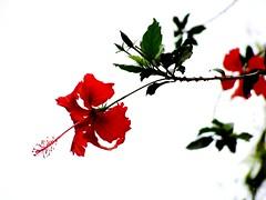 sinensis (Ricardo Cosmo) Tags: flower rural intense cloudy flor highcontrast hibiscus hibisco stio nublado intenso sinensis altocontraste mandurisp