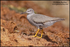 Wandering Tattler - 01 (Glenn Bartley - www.glennbartley.com) Tags: bird birds animal animals outdoors photography coast ecuador wildlife environmental aves majestic picturesque birdwatching animalia avian animalsinthewild colorimage beautyinnature ennvironment colourimage glennbartley wanderingtattlerheteroscelusincanus