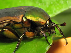 The Green Beetle (Cotinis mutabilis) (halong01234) Tags: insect beetle greenbeetle noblechafer gnorimusnobilis scarabaeidae goldenbeetle cotinismutabilis