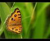 Butterfly again...          Explored (Bhushan Patil.) Tags: orange india green nature butterfly bokeh explore canon350d maharashtra pune sigma70300apodg explored aroundpune khadakwasala nilkanteshwar bhushanpatil weeklytadkasept091