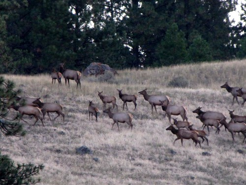 Early morning elk-3