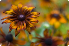 Like velvet (Astrid ~~ (I'll be back)) Tags: flowers autumn orange brown flower oslo norway pentax bokeh blomst botanicalgarden brun blomster 50mmf14 hst tyen botaniskhage oransje justpentax twphch svulstig