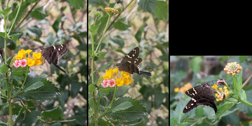 Long-Tailed Skipper Series