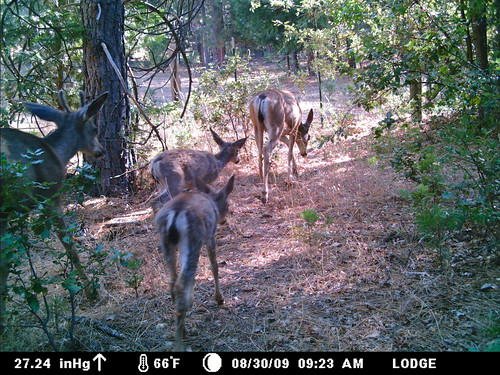 doe, fawns, buck