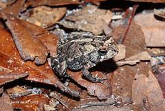 Bufo terrestris (Jake M. Scott) Tags: amphibian southern toad herp bufo terrestris anura jakescott fieldherping southerntoad herping bufoterrestris jacobscott