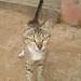 Cat Somalian 2