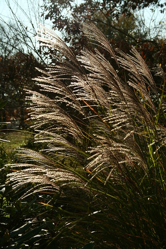 the grasses will be beautiful all winter