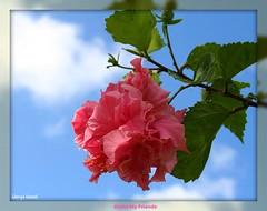 Aloha (Sherrye's Art) Tags: pink hawaii hibiscus tropical aloha favoriteflower bigislandofhawaii doublepinkhibiscus sherryenozaki allmyimagesarecopyrightprotectedandallrightsarereservednoformofreproductionormanipulationincludingcopyingorsavingasadigitalfileispermitted