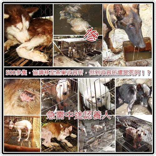 20091111「急需認養中途贊助」旗山狗間煉獄,高市關懷協會呼籲,全國的寵物家族(柯基家族、哈士奇家族、馬爾家族等)能夠出面協助、中途、認養、贊助