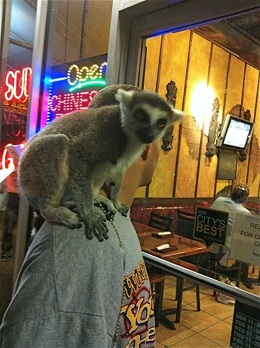 Pet Lemur on Washington Avenue