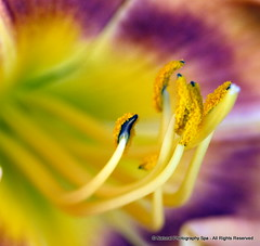 Buddies (NaturalPhotographySpa) Tags: macro nature yellow closeup purple stamens daylily wonderfulworldofflowers