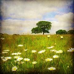 daisy field (Big Star ) Tags: uk england tree texture field grass daisies square squareformat bourne idream naturepoetry grimsthorpe grimsthorpecastle tatot bestcapturesaoi magicunicornverybest elitegalleryaoi