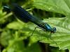 Banded Demoiselle (Male) (ukstormchaser (A.k.a The Bug Whisperer)) Tags: uk animal animals river fly wildlife flies demoiselle milton keynes damselfly damselflies banded