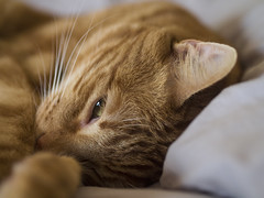 Billy (lauriepetsitterparis) Tags: mingon chat petsitter catsitter miaou animal domestique cat fauve cute adorable