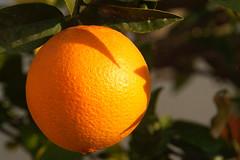 January Harvest (H&T PhotoWalks) Tags: orange naranja fruit color catchycolors canoneos400d sigma18250 puertodemazarrón bahiademazarrón murcia spain allfreepicturesseptember2017challenge allfreepicturesnovember2017challenge