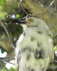 Kookaburra (Leucistic variety) ???? (BossBurt) Tags: sydneybotanicalgardens