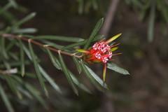 Lambertia formosa (oz_lightning) Tags: garden australia canberra botany act cultivated proteaceae lambertia canonef24105mmf4lisusm anbg