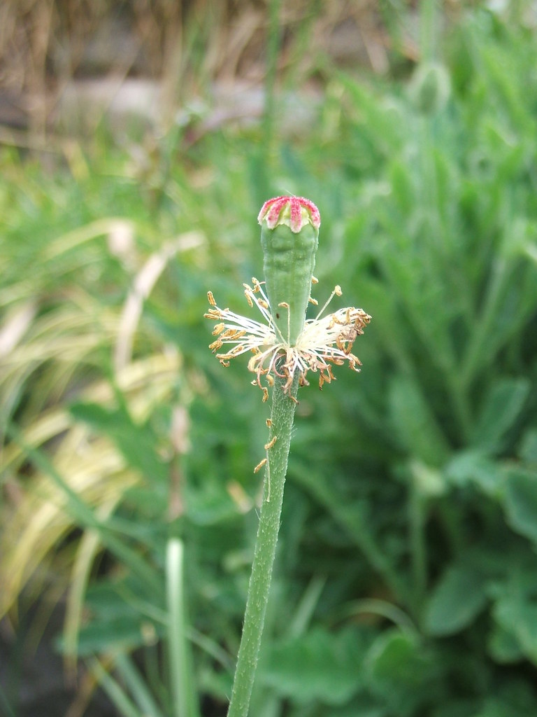 Poppy stem without petals