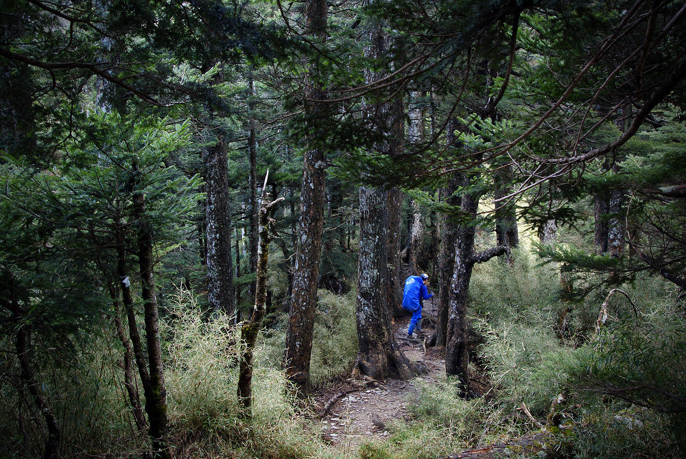 奇萊Day2-09 瘦稜密林