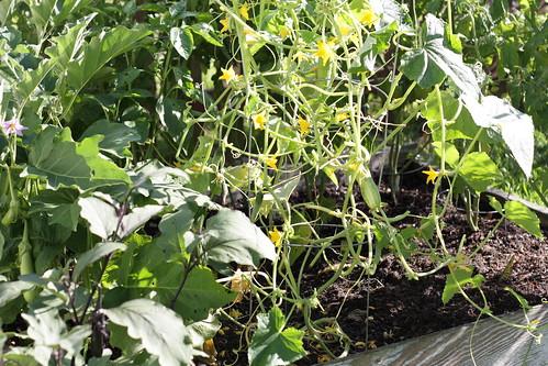 my little veggie garden
