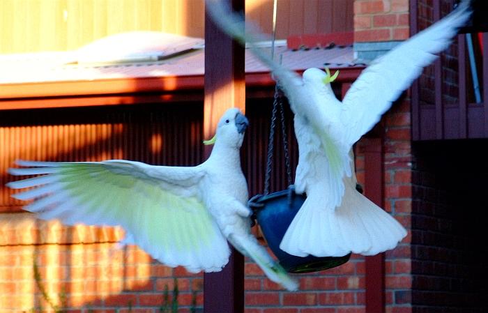 dueling cockatoos