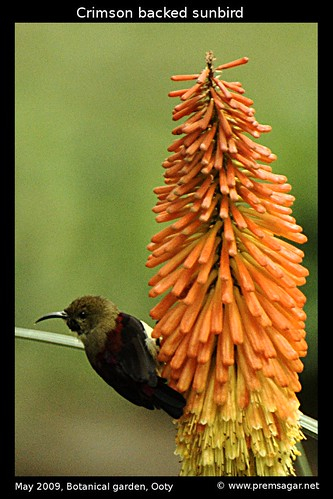 Crimson backed sunbird 2