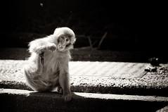 Eating and scratching ... (hadewijch) Tags: blackandwhite bw netherlands amsterdam animal animals zoo monkey blackwhite wildlife creatures creature mammals primate artis noordholland macaque snowmonkey japanesemacaque 55200mmf456 nikond90