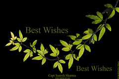 BEST WISHES and THANKS to you all ! (Captain Suresh Sharma) Tags: thanks garden naturephotography darkbackground beautyofnature daylightphotography captsureshsharma flowerphotoonblackbackground howtogetblackbackgroundforflowerimages bestwishestofriends backlitgreenleaves backlitgreenbranch howtogetblackbackgroundforflowershots howtogetblackbackgroundforflowerphotos olivegreenbranch