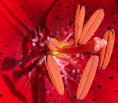 Anthers and stigma of red lily flower (Martin LaBar) Tags: red macro beautiful closeup lily bright flor southcarolina lirio pollen lovely reproduction stigma roja excellence bello anthers liliaceae primerplano pickenscounty abigfave 5for2 carolinadelsur excapturemacro