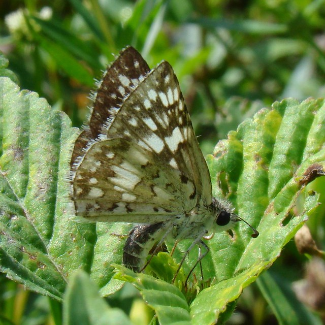 Tropical Checkered-Skipper, Pyrgus oileus (Linnaeus, 1767) Female by Burnt Umber