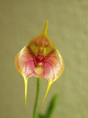 Masdevallia yungasensis x pinocchio