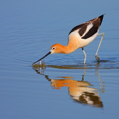 American Avocet (scythebill) Tags: bird birds birdwatcher recurvirostraamericana naturesfinest supershot featheryfriday specanimal specanimalphotooftheday colorphotoaward avianexcellence vosplusbellesphotos rgmfc capturethefinest