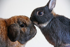 Nose Kiss (Mark Philpott) Tags: pet pets brown house holland rabbit bunny bunnies love canon fur nose grey is furry kiss dwarf blu fluffy mini netherland rabbits snuggly lop mumble flopsy 18200mm 1000d highqualityanimals