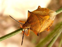 Carpocoris fuscispinus, photo by J. Coelho
