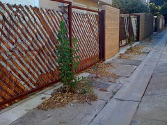 Alley fencing (jann_on) Tags: wood trees light summer plants white green nature leaves lines metal wall architecture fence landscape concrete outside outdoors design losangeles weeds alley rust afternoon power suburban landscaping decay stripes space hill cement suburbia shapes style ground chainlink growth alleyway shade suburbs fencing walls detritus plantae botany cinderblock parallel asteraceae slope materials iphone garages marvista cichorieae asterales pricklylettuce angiosperms eudicots asterids latuca prickleylettuce latucaserriola