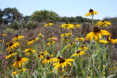 Black-eyed Susans (joeksampson) Tags: flowers alameda blackeyedsusan