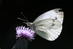 Cabbage White butterfly - Amsterdam (IvoMathieuGaston) Tags: brown white black flower color colour macro green colors amsterdam butterfly nikon colours purple d300 naturegroup cabbagewhite heartawardsgroup butterflycolorgroup eperkegroup flickrstarsgroup throughmylensgroup highqualityimagesgroup amazingmacrosgroup wonderfulworldofmacrogroup natureisallgroup naturegreenstargroup butterfliesgroup worldofanimalsgroup nikonflickrawardgroup hairygitselitephotogroup smallcreaturesgroup dutchelitegroup greatbutterflygroup luxgroup fotografiagroup hablahispanagroup artofimagesgroup fotosconestilogroup nederlandbelichtgroup exquisiteworldofnaturegroup lovetheworldofnaturegroup sensationalcreationsgroup macrosdenaturalezagroup beautifulshotgroup mallmixstarawardgroup animalflowerscloseupsgroup spectacularinsectsgroup macroworldgroup flowersinsectsandbutterfliesgroup butterflybeautygroup insectmacrophotographygroup naturephotographygroup butterflygallerygroup animalesgroup