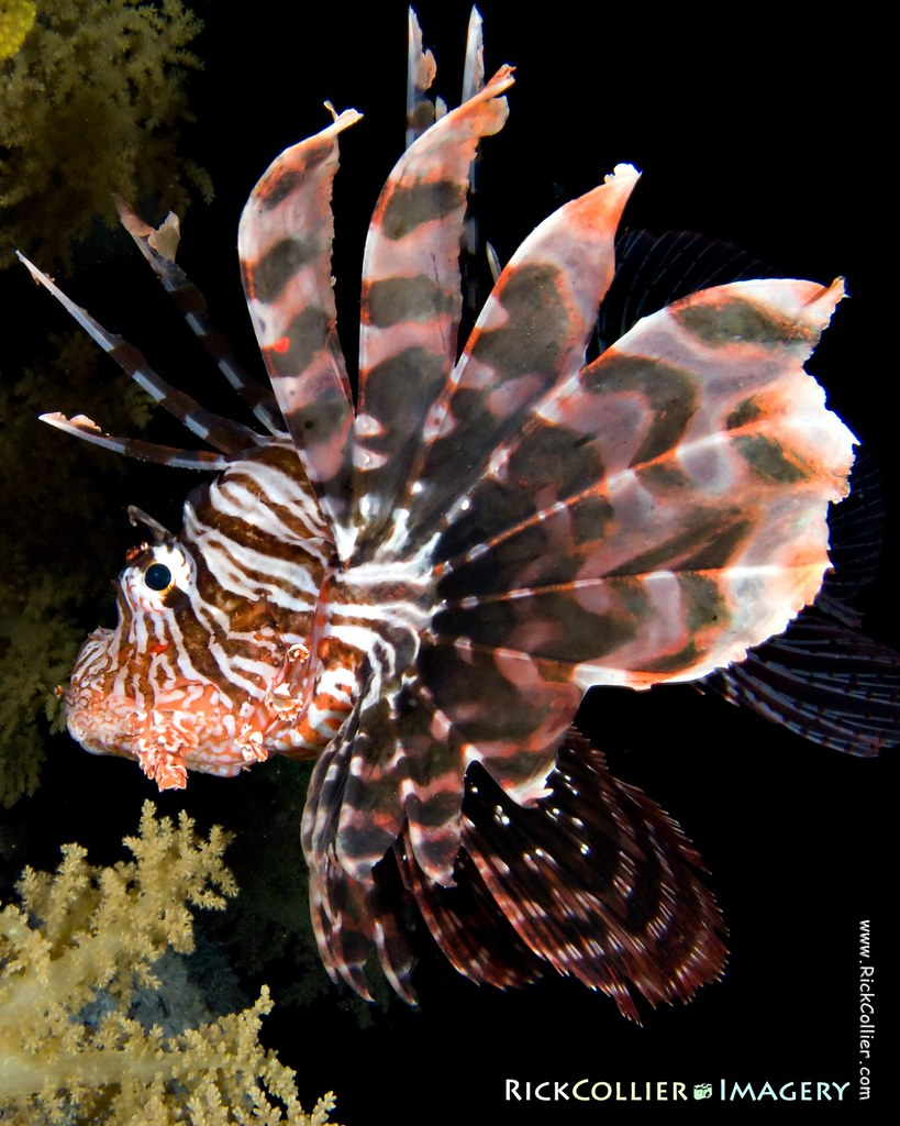 A common lionfish in profile, shot during a night dive in the Red Sea at Sharm el-Sheikh, Egypt.
