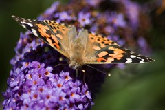 Painted Lady (adrianstillwell) Tags: butterfly insects paintedlady